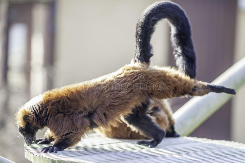 Лемур делая трехногое ухудшающееся - смотрящ на йогу собаки представьте стоковое изображение rf