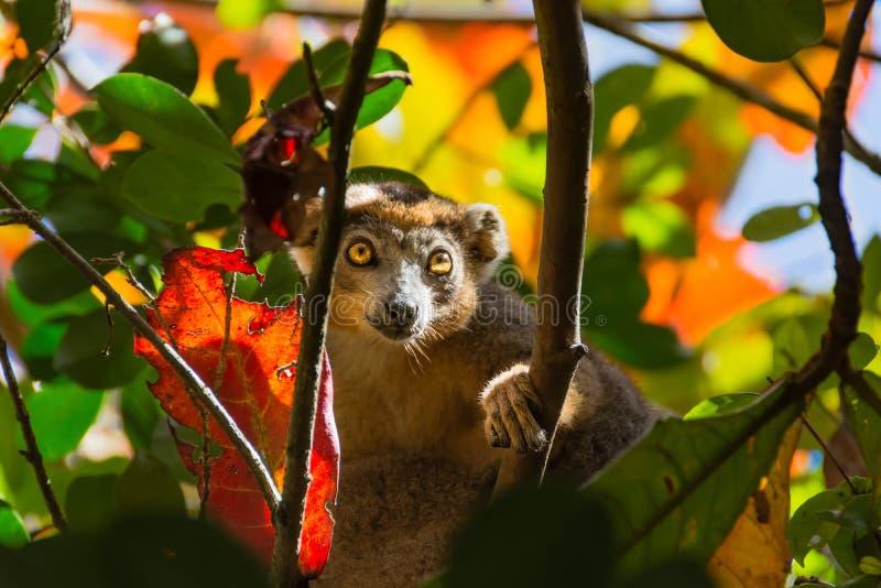 Лемур смотря через листья осени стоковые изображения