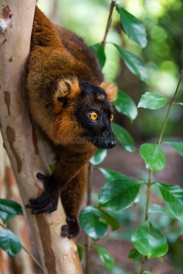 Лемур схватывая на дерево стоковая фотография rf
