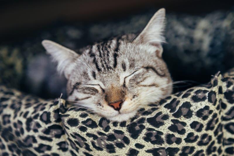 Ленивый кот котенка спать в кровати кота на в воскресение утром стоковое фото
