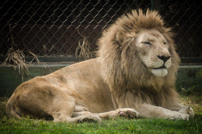 Ленивый лев отдыхая в зоопарке стоковые фото