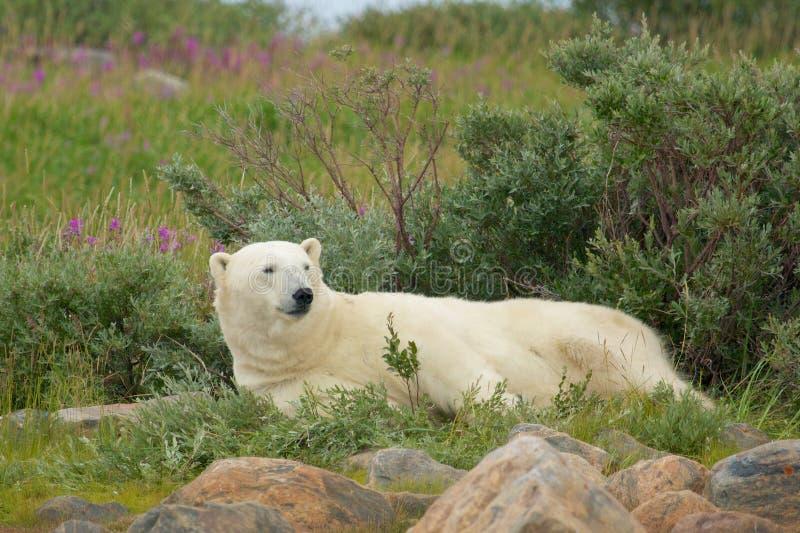 Ленивый полярный медведь 1 стоковое фото rf