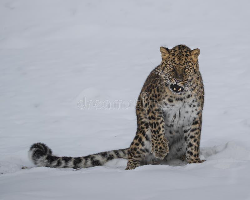 Леопард Амура на втройне ферме игры d в Монтане стоковые фотографии rf