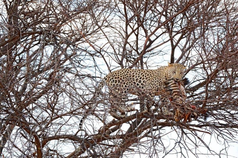 Леопард на дереве с задвижкой, животным поведением Большая кошка кормить молодую зебру, национальный парк Etosha в Африке Сцена ж стоковая фотография