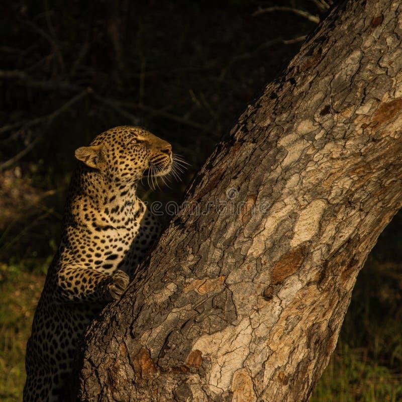 Леопард на ноге дерева стоковое изображение rf
