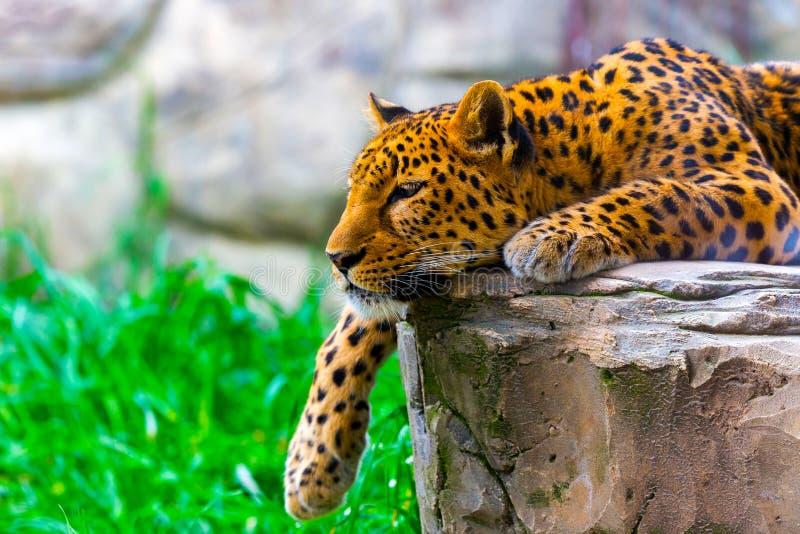 Леопард отдыхая на утесе стоковые изображения rf