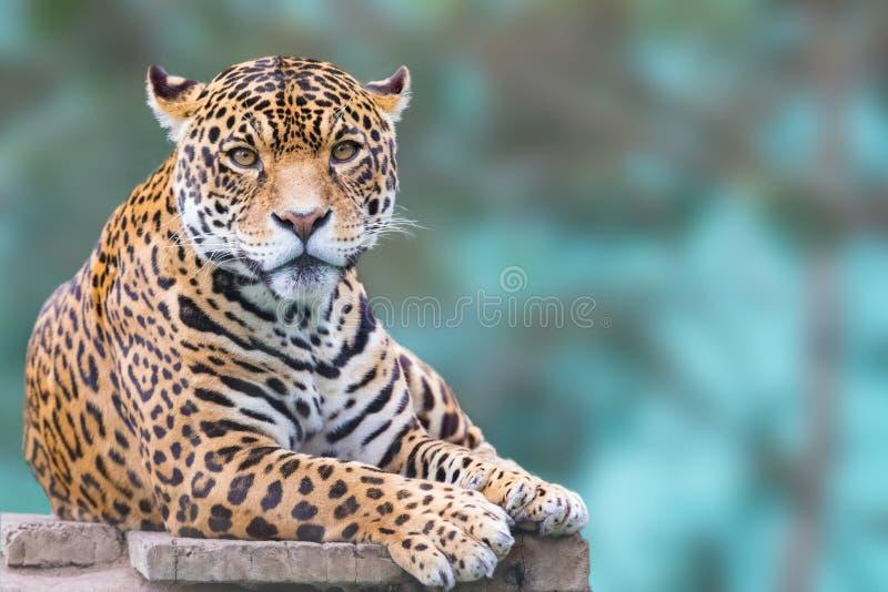 Леопард смотря камеру стоковое изображение rf