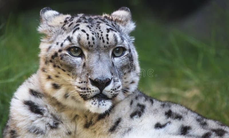 леопард смотря правый снежок стоковое изображение rf