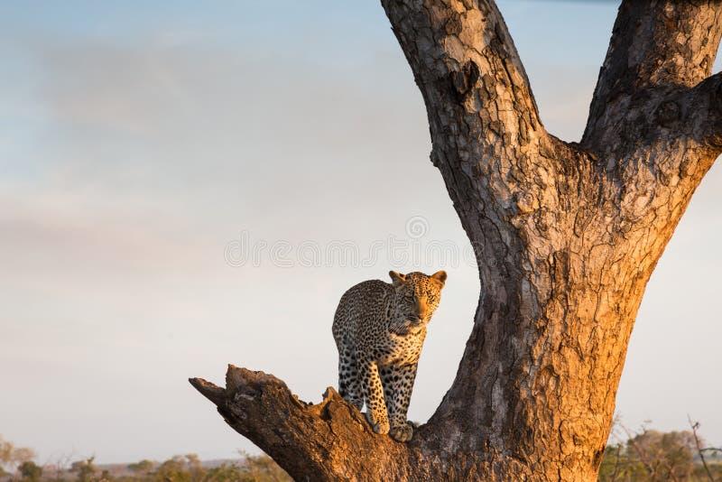 Леопард стоя в дереве стоковые фото