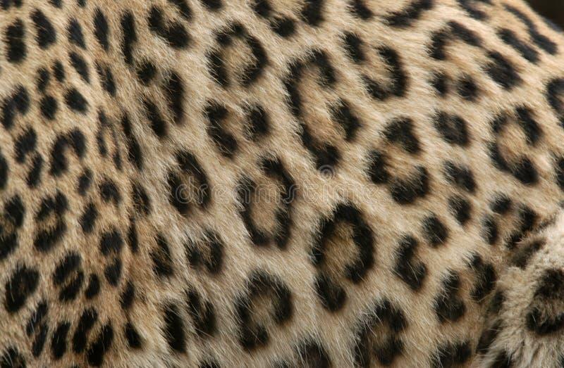 леопард шерсти стоковое фото rf