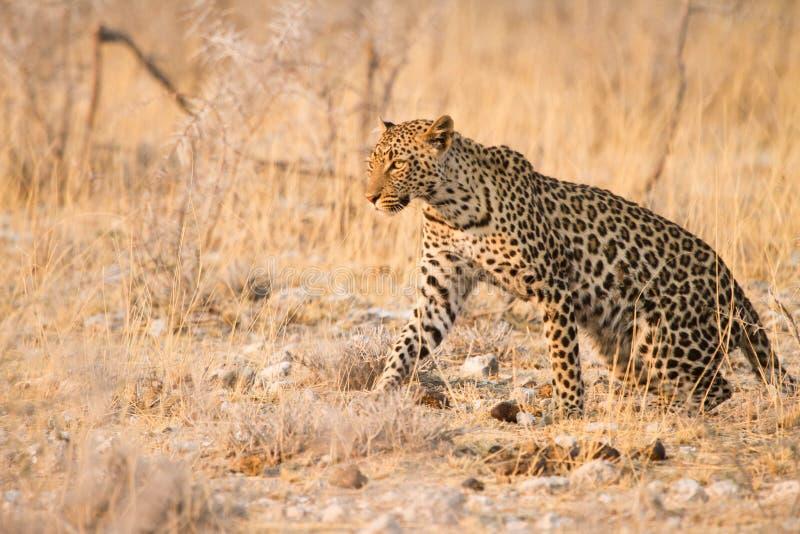 Download леопард стоковое изображение. изображение насчитывающей mammal - 18389967