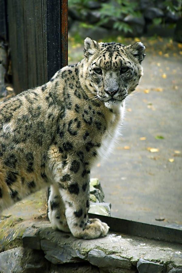 леопард Стоковое Изображение