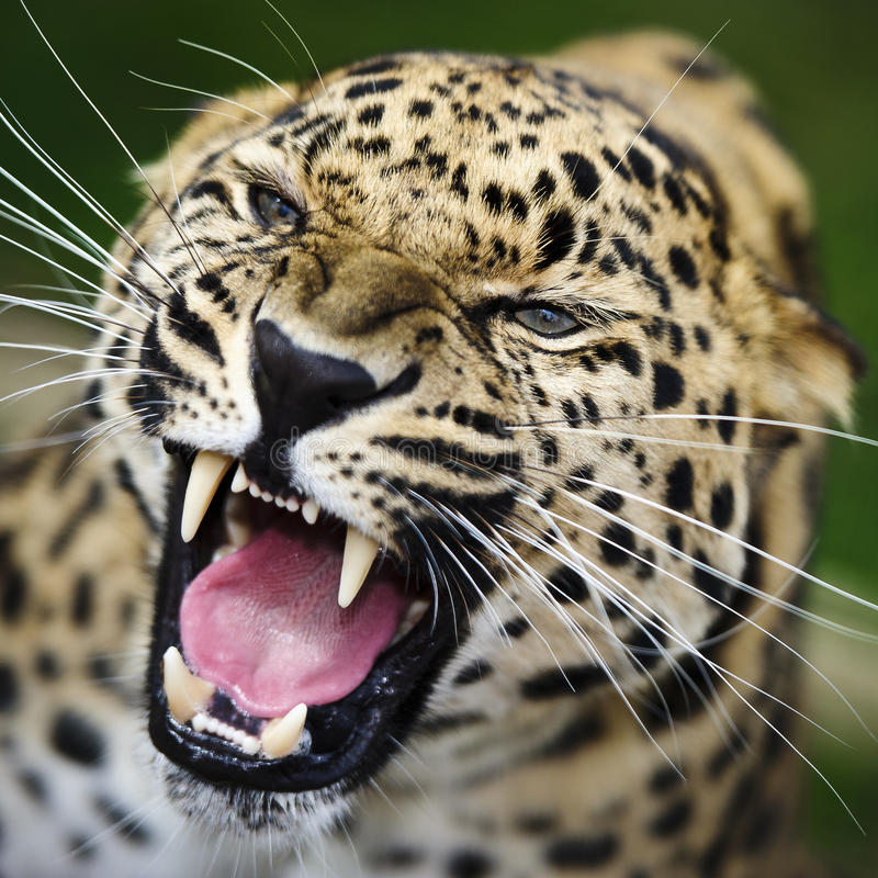 леопард amur