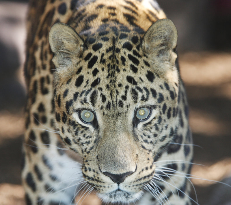 Download леопард amur стоковое изображение. изображение насчитывающей mammal - 6867059