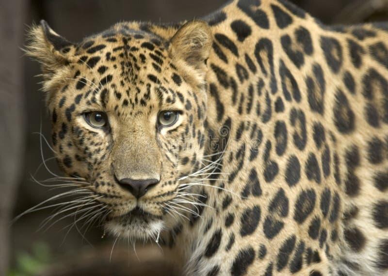 леопард amur стоковая фотография