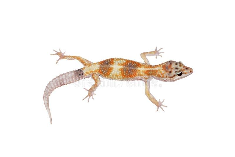 леопард gecko стоковая фотография rf