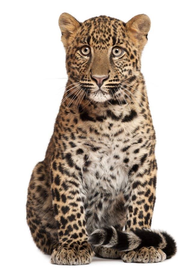 Леопард, pardus Panthera, 6 месяцев старых, сидя стоковое фото rf