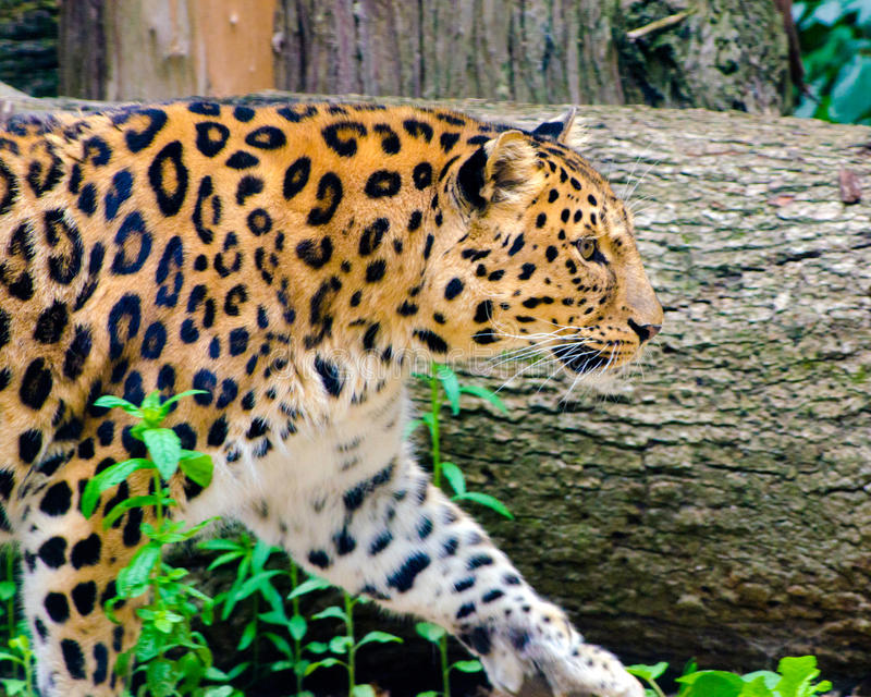 Леопард Амура стоковые изображения