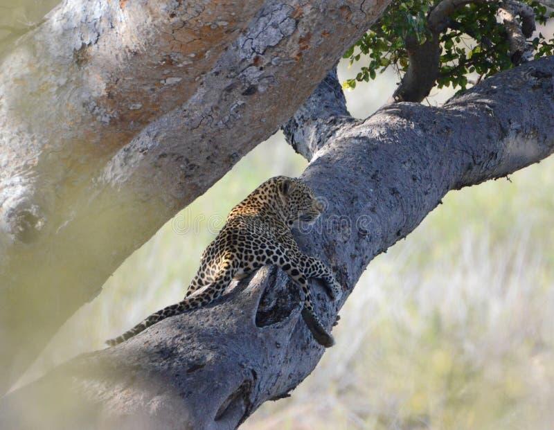 Леопард в вале стоковое изображение