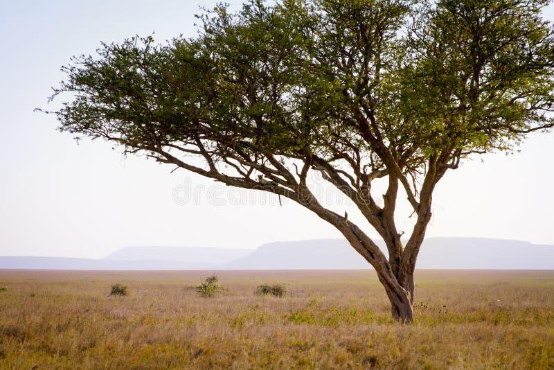 Леопард в дереве стоковая фотография rf