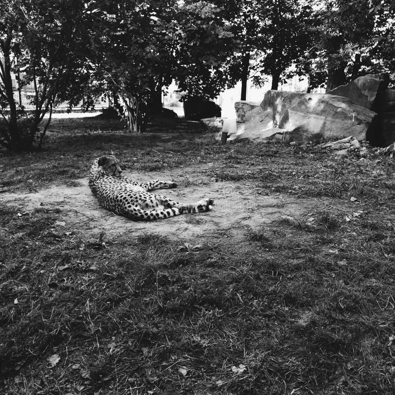 Леопард в зоопарке Москвы стоковое изображение rf