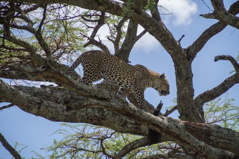 Леопард дерева взбираясь стоковая фотография rf