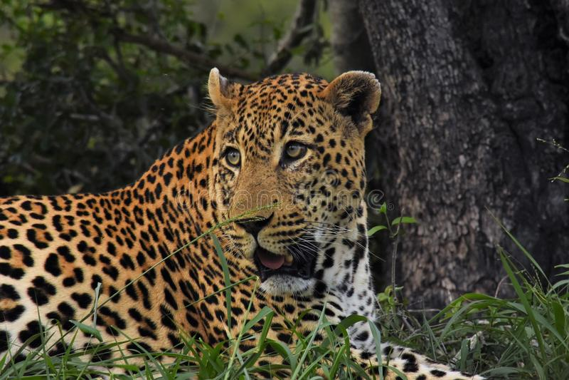 Леопард кладя вниз деревом стоковая фотография