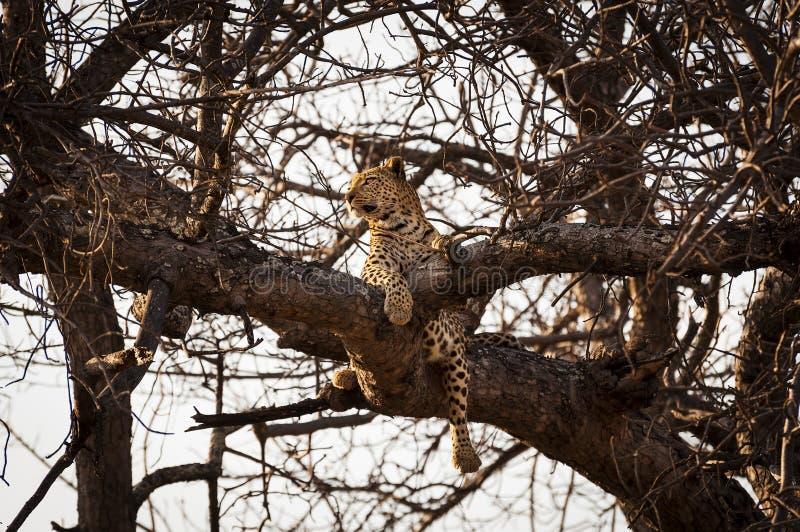 Леопард отдыхая в ветвях дерева в перепаде Okavango, в Ботсване, Африка стоковые изображения rf
