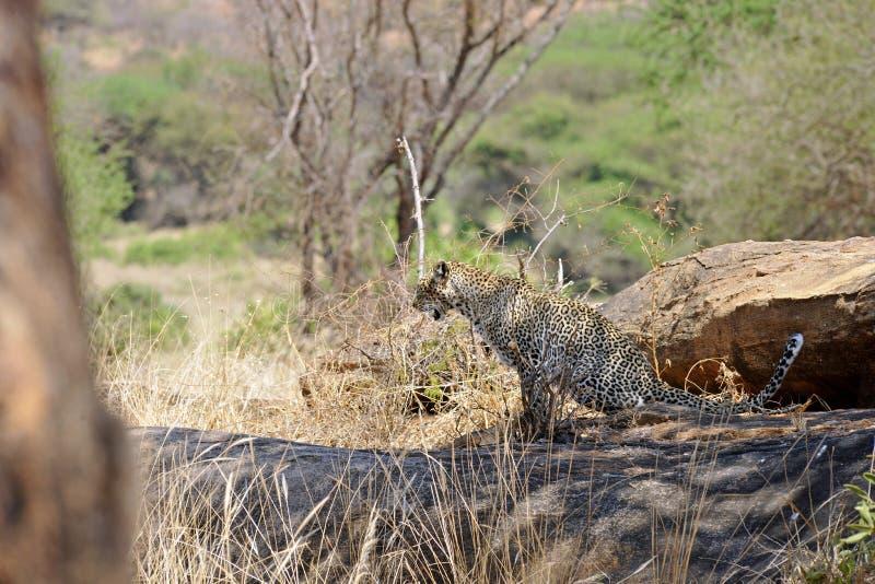 Download Леопард стоковое изображение. изображение насчитывающей вышесказанного - 33731539