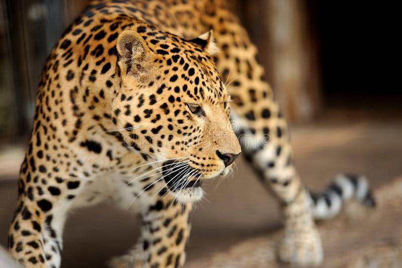 Download Леопард стоковое фото. изображение насчитывающей быстро - 33735496