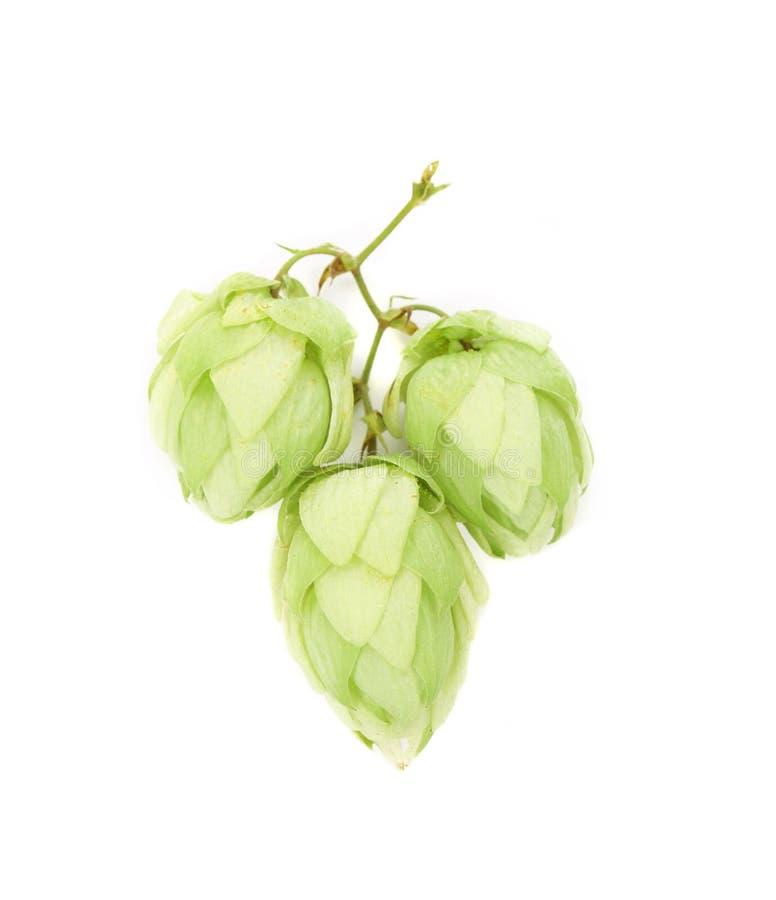 Лепестки зеленого цвета цветка хмеля стоковые изображения rf