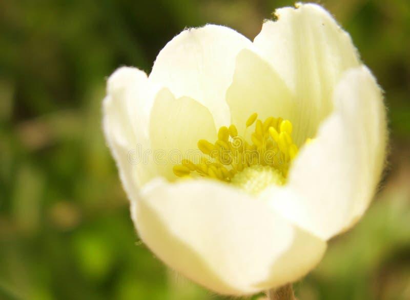 Лепестки конец-вверх белого цветка, макрос стоковое фото rf
