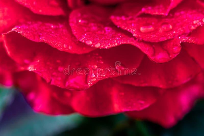 Лепестки красной розы, покрытые с росой, в утре в garden_ стоковые изображения rf