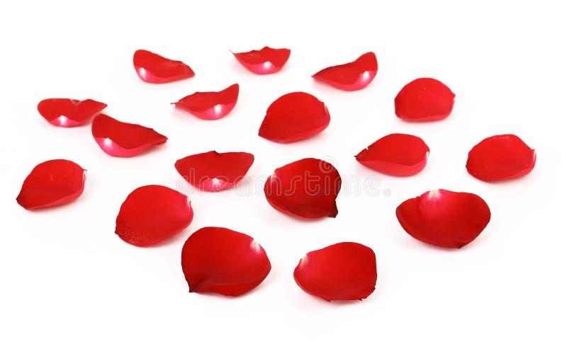 Лепестки красной розы стоковые изображения rf