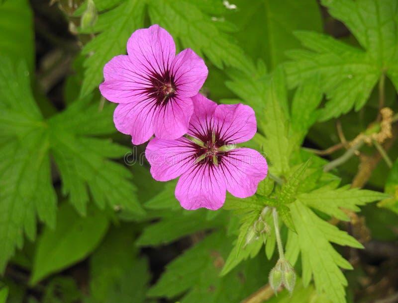 Лепестки макроса головы цветка гераниумов лета розовые стоковые изображения