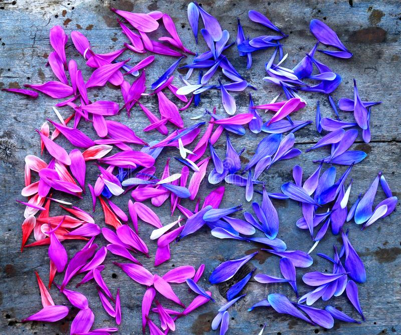 Лепестки розовых и сирени хризантем на деревянной предпосылке над взглядом стоковые изображения