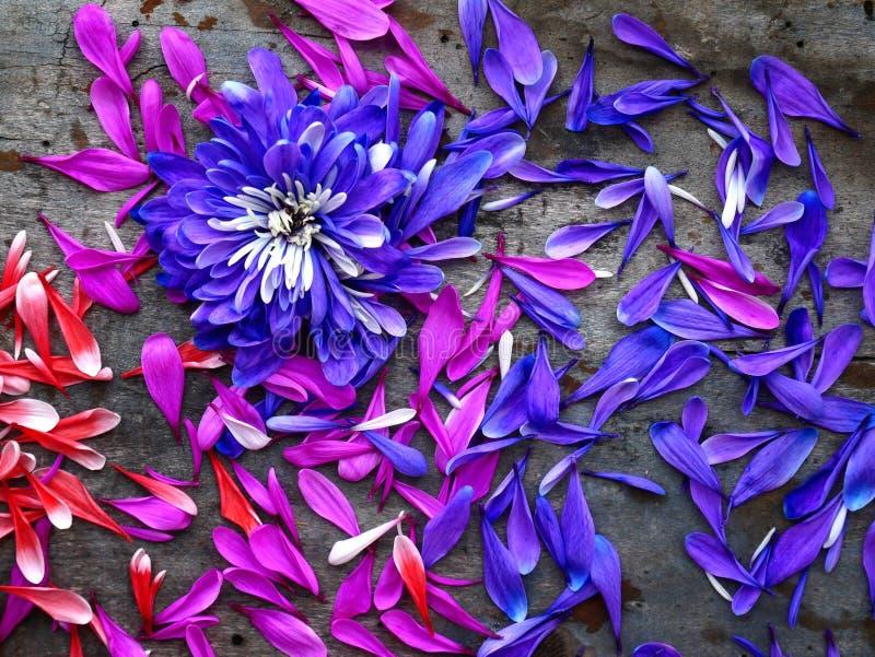 Лепестки розовых и сирени хризантем на деревянной предпосылке над взглядом стоковые фотографии rf