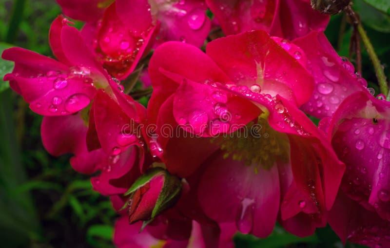 Лепестки розовых роз в утре орошают стоковые изображения rf