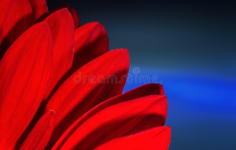 Лепестки хризантемы красного цвета на голубой предпосылке стоковая фотография
