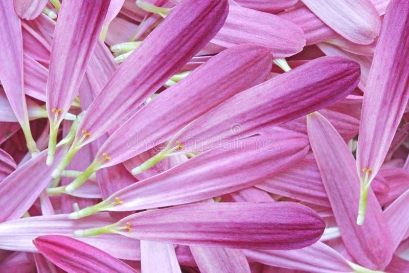 Лепестки хризантемы стоковое изображение