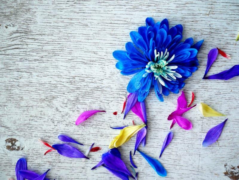 Лепестки цветка хризантемы сирени на белой предпосылке стоковые фото