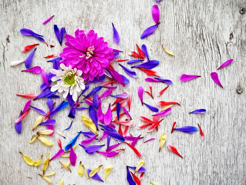 Лепестки цветка хризантемы сирени на белой предпосылке стоковое фото rf