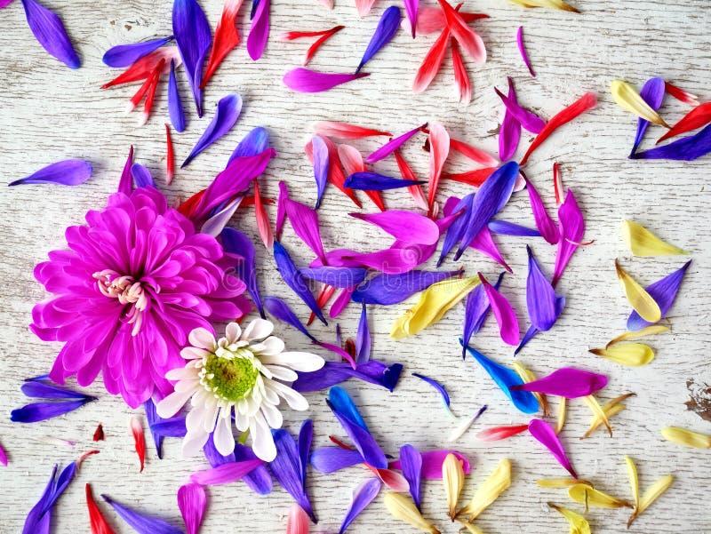Лепестки цветка хризантемы сирени на белой предпосылке стоковое фото