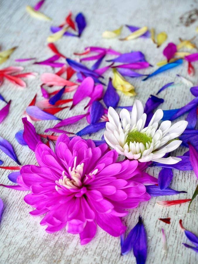 Лепестки цветка хризантемы сирени на белой предпосылке стоковое изображение