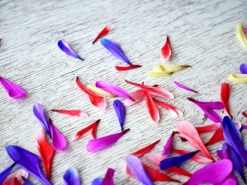 Лепестки цветка хризантемы сирени на белой предпосылке стоковые изображения