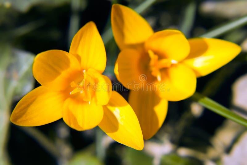 лепесток цветка крокуса стоковое изображение rf
