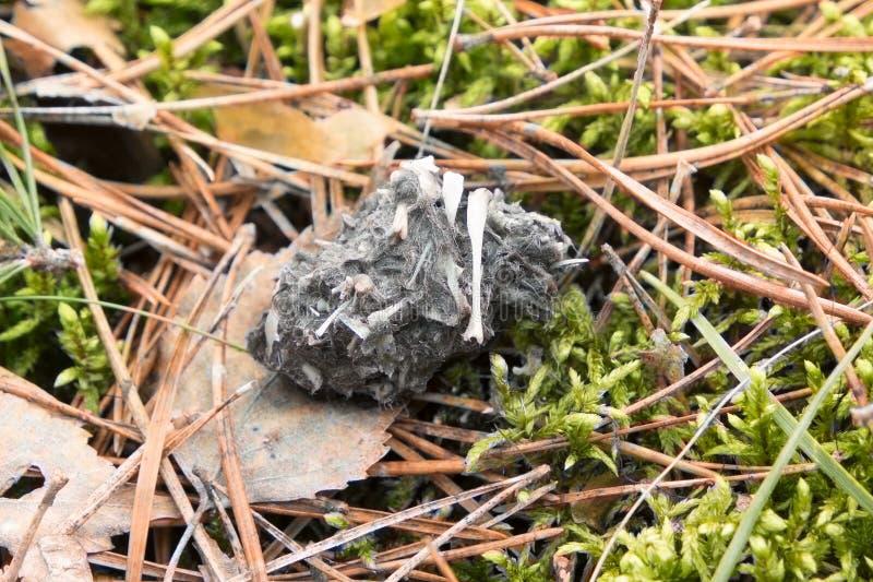 Лепешка - undigested еда захватнической птицы стоковое фото rf