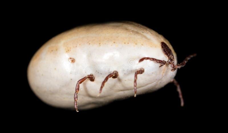 Лепта жука на черной предпосылке стоковая фотография rf