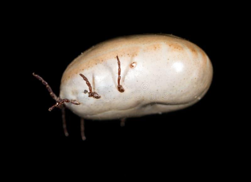 Лепта жука на черной предпосылке стоковые изображения rf