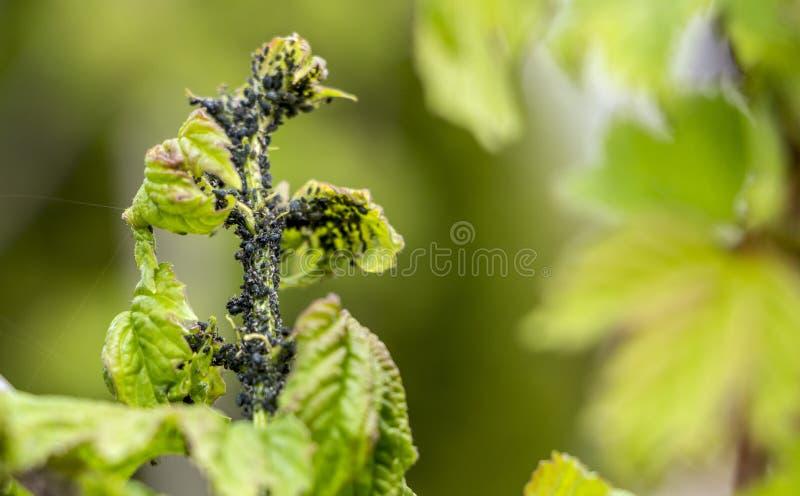 Лепта паука, вредитель Разрушает группы фиолетовых цветков сирени Сирень стоковые изображения rf